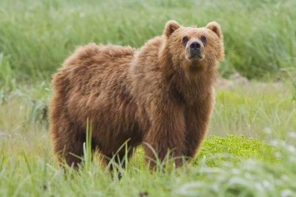Бурый медведь (Ursus arctos): виды, фото, интересные факты