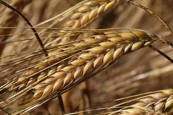 Зерновые культуры список растений с названиями