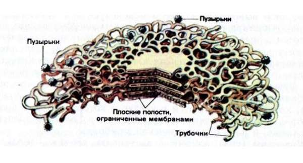 Cтроение растительной клетки рисунок с подписями