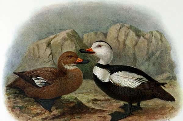 Лабрадорская гага — Википедия