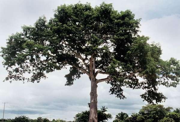 Искусство майя многогранно. Священное дерево сейба получило широкое ...
