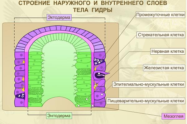 Пресноводная гидра особенности и схема строения