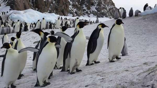Пингвины в Антарктиде - YouTube