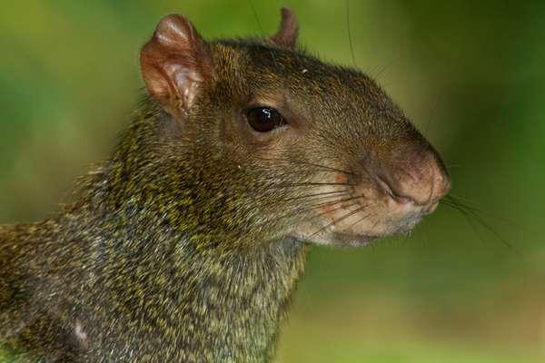 Агути (лат. Dasyprocta) или южноамериканский золотистый заяц