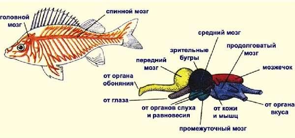 Рыбы классификация в биологии и особенности внутреннего и внешнего строения
