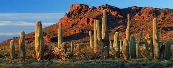 Кактусы пустыни - Мир кактусов