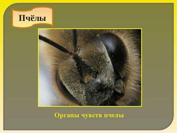 Особенности зрения пчелы
