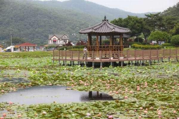 лотосы в Южной Корее
