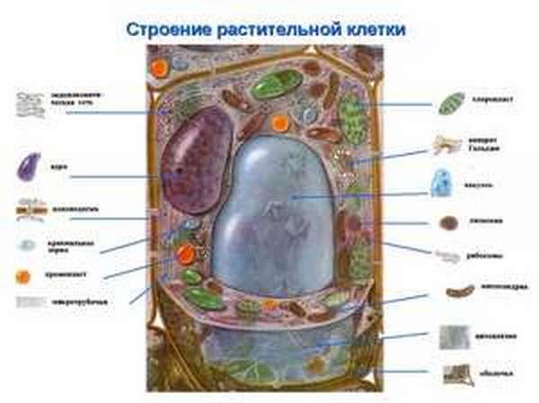 Растительная клетка особенности строения