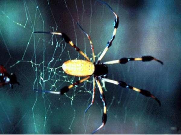 Паук-золотопряд (Nephila sp.) фото обои паук членистоногие, паук ...