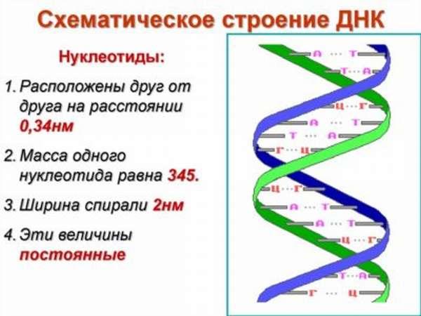 Схематическое строение ДНК