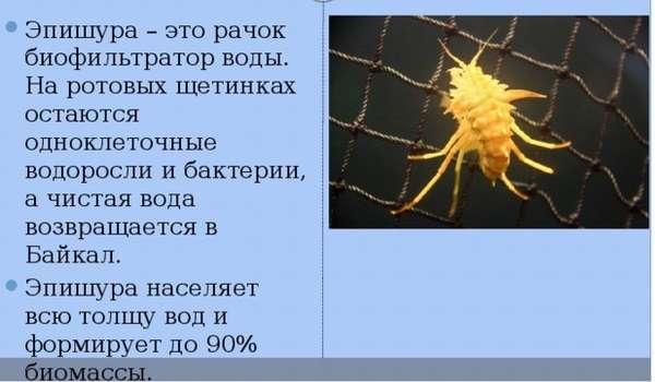 Байкальская эпишура - География - Прочее