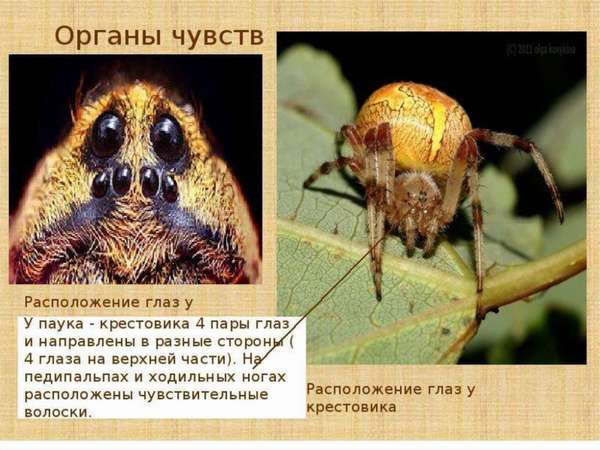 Класс Паукообразные - online presentation