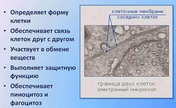 Клеточная мембрана в биологии виды, строение и функции (таблица)
