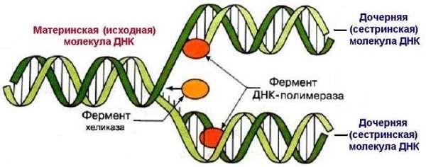 Деление клетки митоз