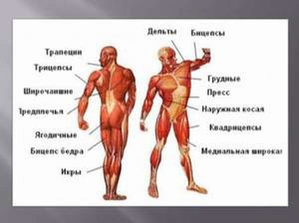 Строение тела человека