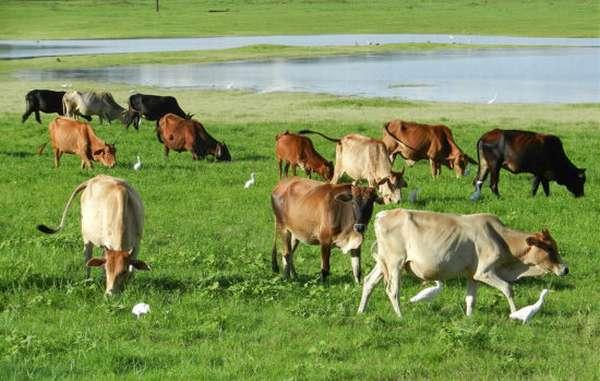 стадо на поле в Шри-Ланке