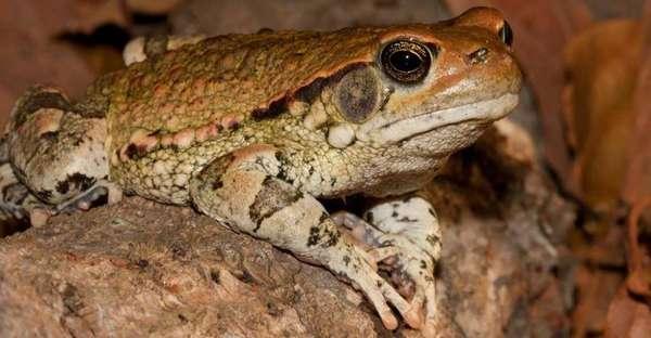 Африканская красная жаба – описание, где обитает, фото