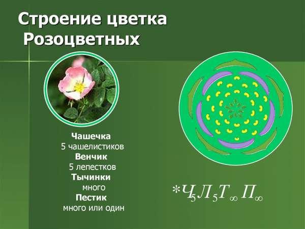 растения семейства розоцветных (главный ключ)