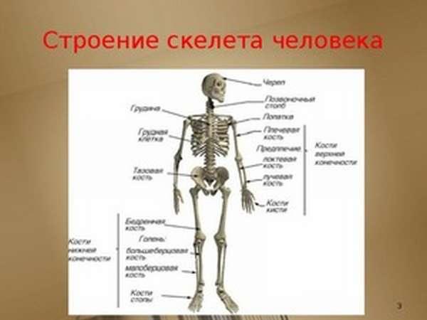 Как устроен скелет человека
