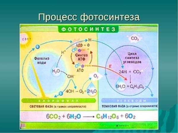 Продукты фотосинтеза