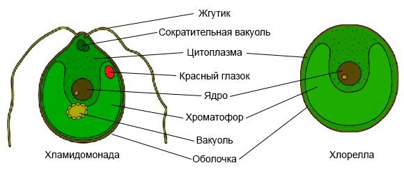 Хламидомонада особенности строения, общая характеристика, значение в биологии