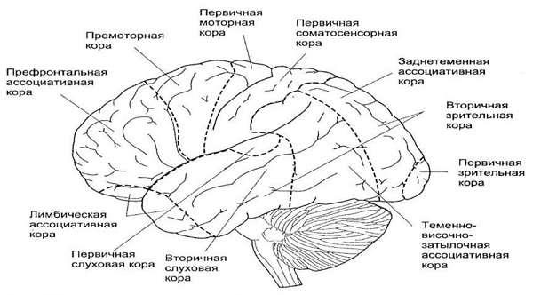 Головной мозг человека строение и функции
