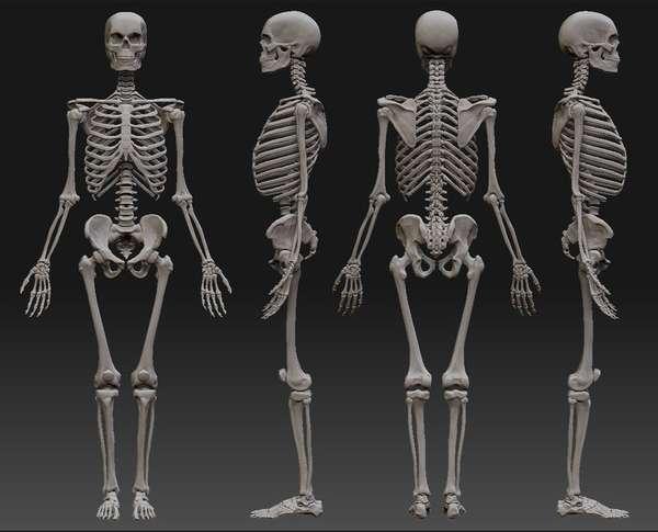 9 интересных фактов о человеческом скелете | Журнал Популярная Механика