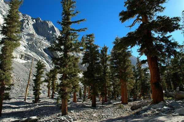 Pinus balfouriana - Wikimedia Commons