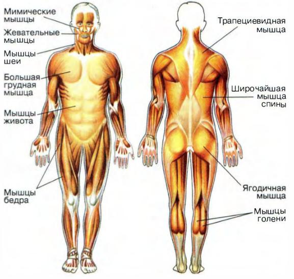 Основные функции мышц