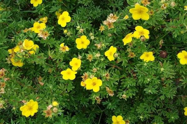 Лапчатка: посадка, правильный уход и размножение куста