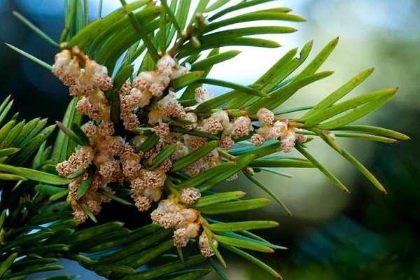 Голосеменные растения общая характеристика и примеры