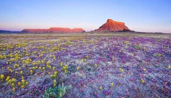 Цветущая пустыня Анза Боррего