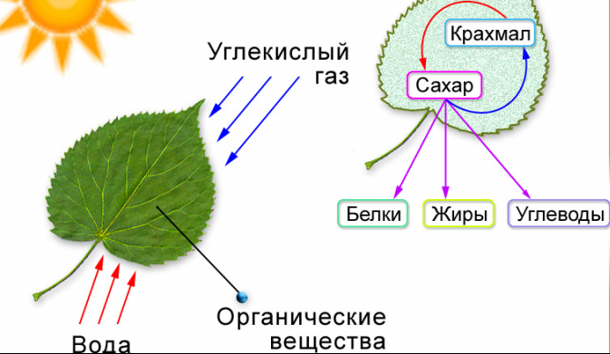 папоротникообразные растения (главный ключ)