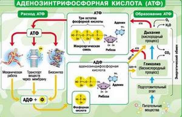 Химические реакции в молекуле АТФ
