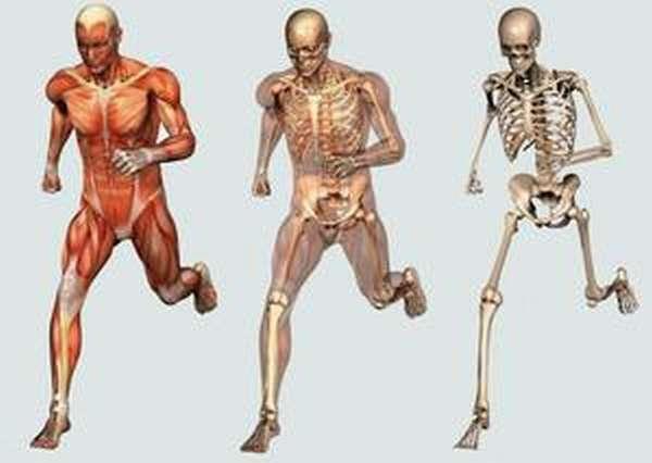 Нижние конечности у человека