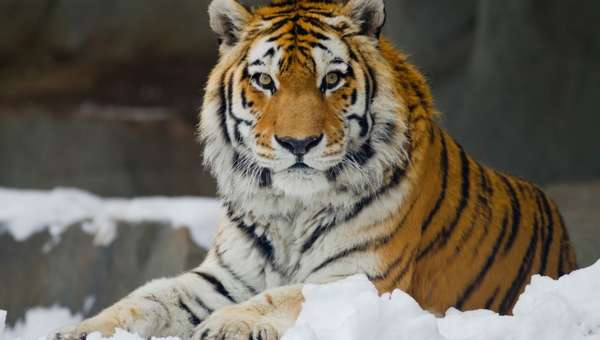 Амурский тигр (уссурийский тигр). Описание животного