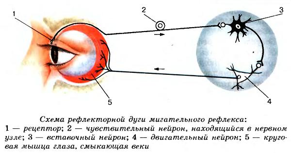 Рефлекторная дуга в биологии виды, схема строения, примеры