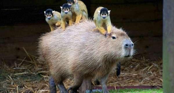 Капибара — самое доброе существо на планете, с которым все хотят дружить