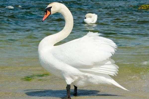 все о лебедях (главный ключ)