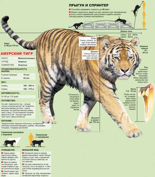 самый крупный тигр