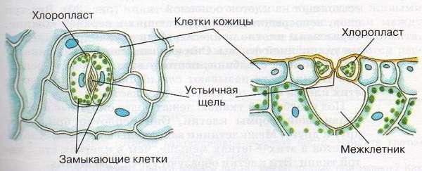 Клеточное строение листа (схема) функции и свойства клеток