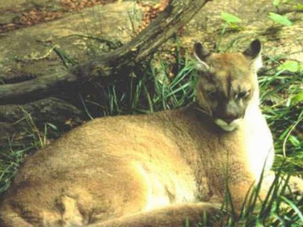 Восточная пума (Puma concolor couguar)