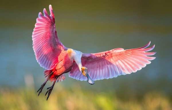 Обои птица, крылья, полет, ибис, розовая колпица картинки на рабочий ...