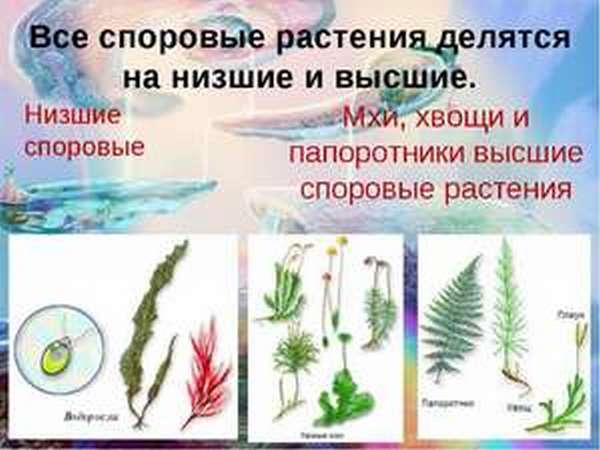 Спора для растения
