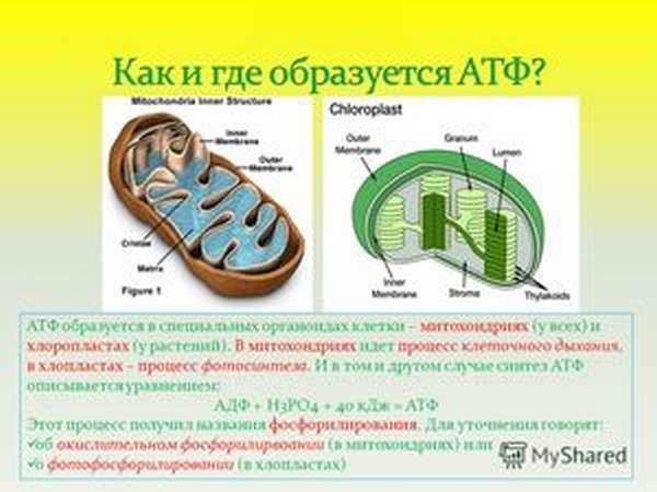 Как образуется АТФ в оргкнизме