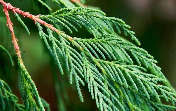 голосеменные растения примеры (главный ключ)