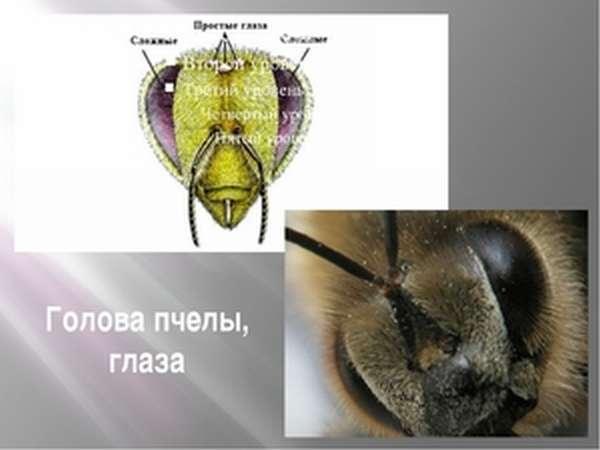 Фасеточные глаза пчелы