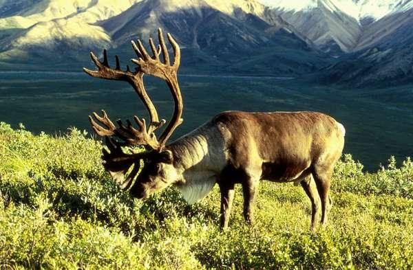 Северный олень — Википедия