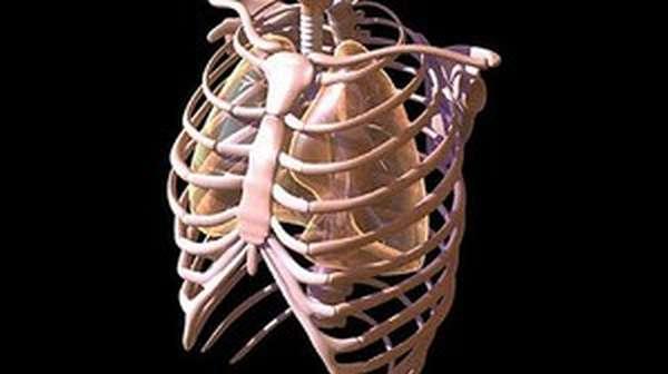 Сколько рёбер в строении тела женщины и в строении тела мужчины